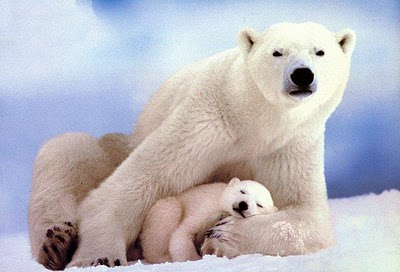A polar bear with cub, how adorable can it be!Photo credit animalszooguru.blogspot.nl