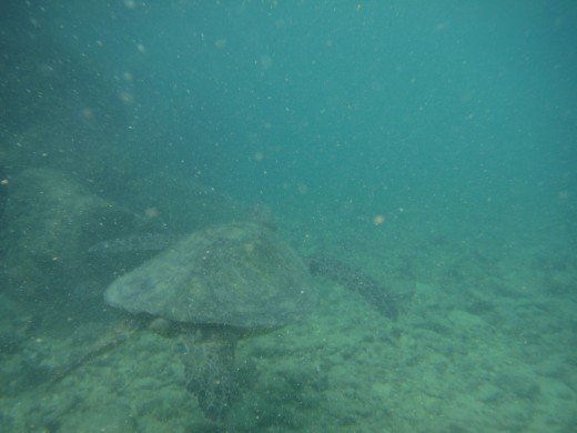 Green sea turtle at Ko'Olina lagoons