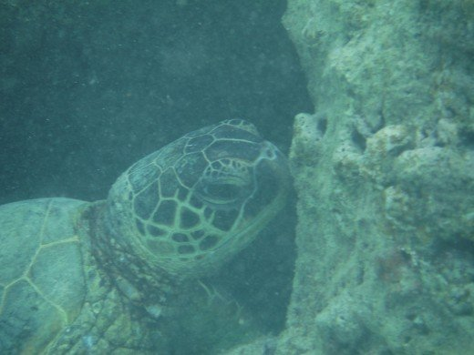 Turtle feeding on coral at Shark's  Cove
