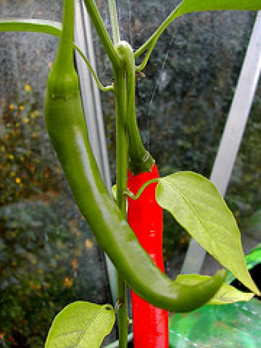 Long Green Pepper or Siling Haba in Filipino (Photo Credit: CANDYTANGERINE Flickr)