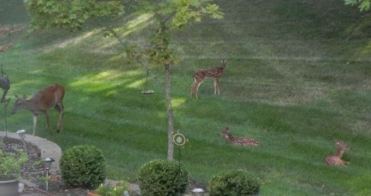 Deer still lounging around my yard.