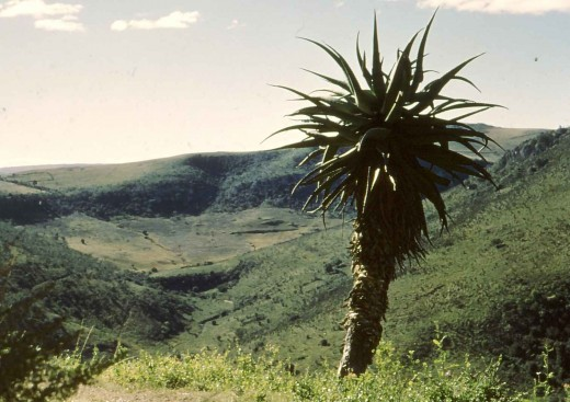 An aloe stands on the side of the Chief's Road above a valley