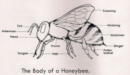 Bee Body Parts Coloring Pages