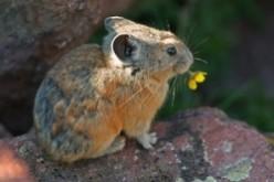 Pika: Little Rock Rabbit of High Mountains