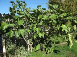 Fig tree, image © E. Friedman 2011, all rights reserved