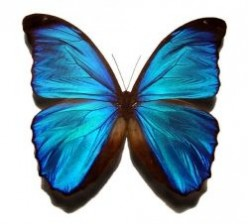 Blue Morpho - Butterfly Extraordinaire