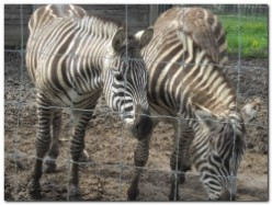 10 Fascinating Zebra Facts and Pictures