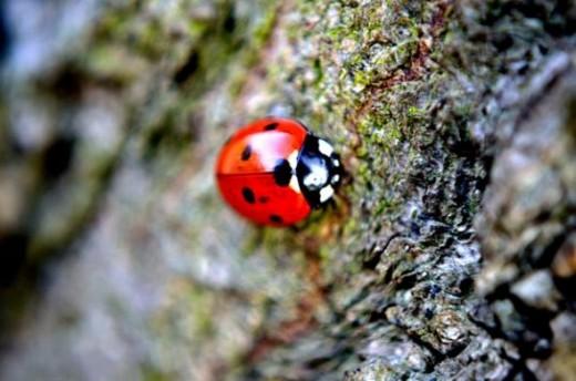ladybug public domain