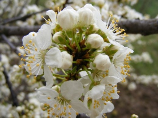 Flowering fruit tree public domain
