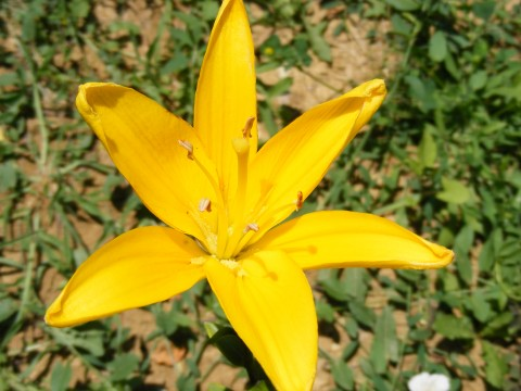 Yellow lily public domain