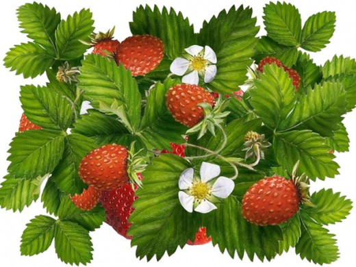 Wild strawberries? Anytime!