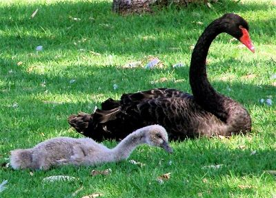 Black swans CAN be beautiful :)