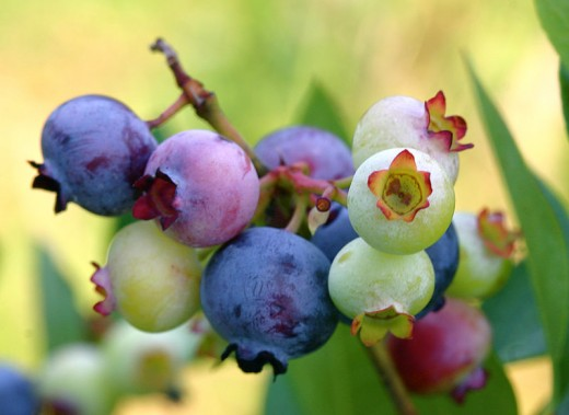 Blueberries waiting to be picked