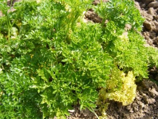 parsley public domain