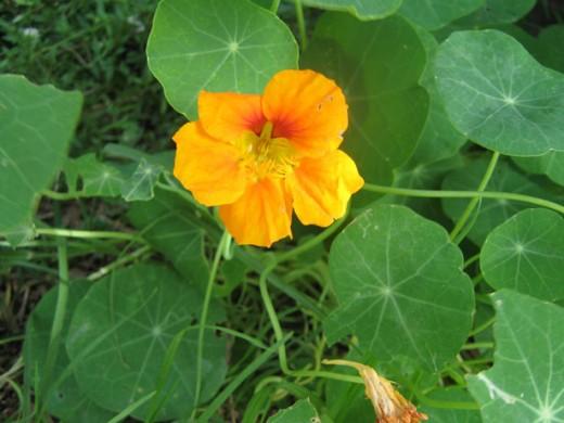 nasturtium flower public domain