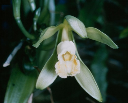 Did you know that vanilla is an orchid?
