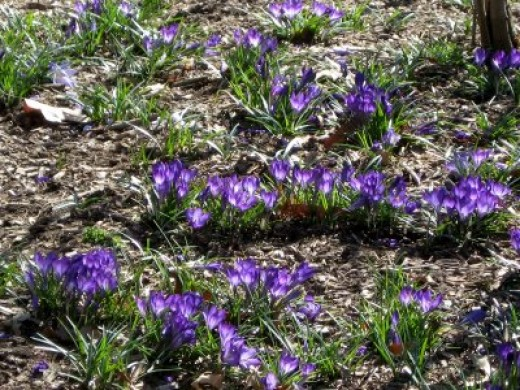 crocuses always herald the beginning of Spring
