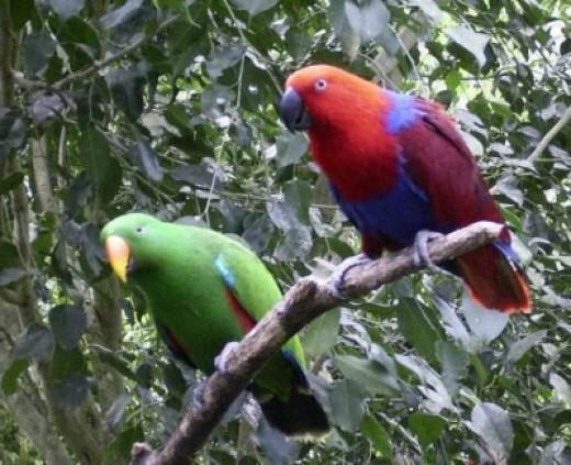 Eclectus Parrots Kuranda