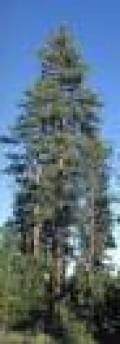 Pinus ponderosa, the Ponderosa Pine - wait I don't see mushrooms...