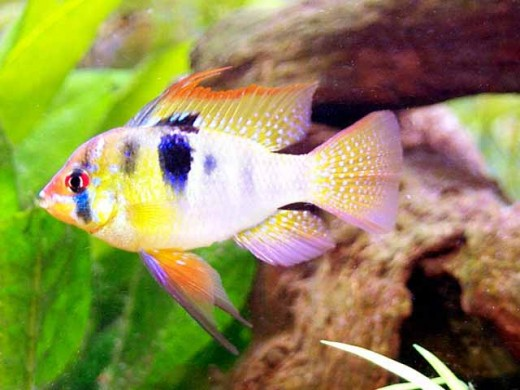 Ram : Size upto 10cms. Min tank size: a two foot tank would suffice for a pair