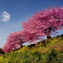 Growing 3 different types of flowering cherry trees