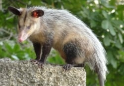 Common Possum
