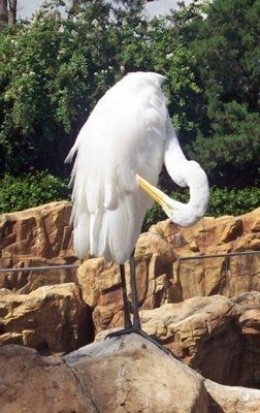 Egret photo taken at SeaWorld - Orlando, Florida