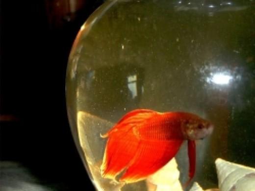 Betta Fish in his Betta Fish Bowl