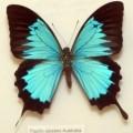 Ulysses butterfly: Jan T's talisman