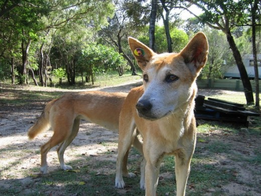 Dingoes abound on Fraser Island