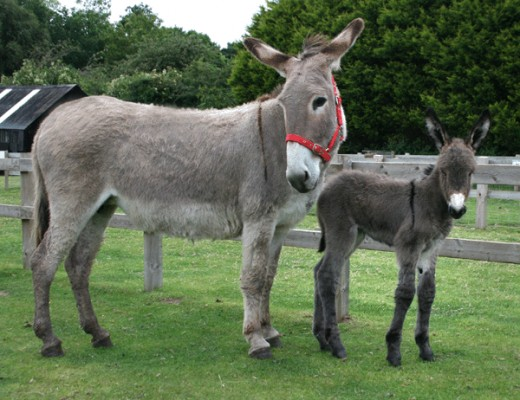 Rescued donkeys saved from the slaughterhouse.