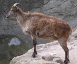Himalayan Tahr is another variety of Tahr usually seen in Himalaya like cold mountain areas