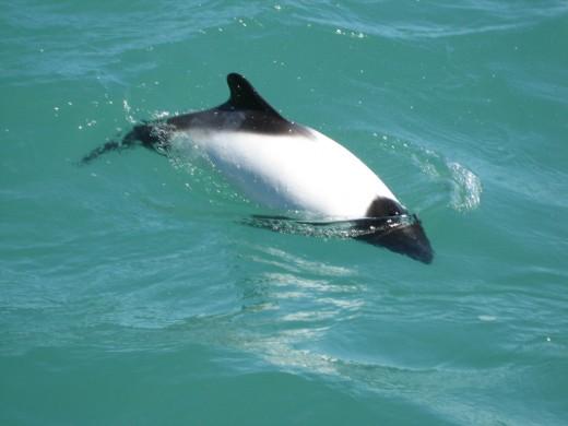 A beautiful black and white Comemrson's Dolphin