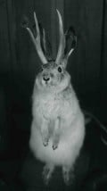 The Night Hunting Jackalope. Save one today! Contact B.T. Evilpants, Emperor and rescue coordinator at the link above.
