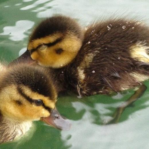 Little ducks!