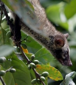 Philippine Civet or Alamid eats only the ripest coffee cherries. Unable to digest the coffee bean, the alamid graciously deposit