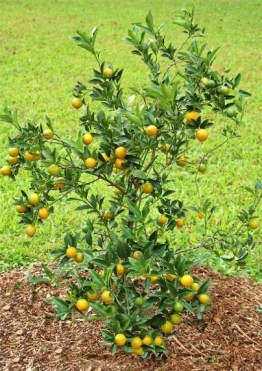 an average Kumquat Tree