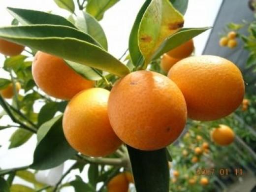 Meiwa Kumquat generally eaten fresh, skin-on, and instead of cooked.