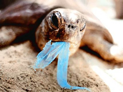 A sea turtle with plastic in its mouth. Thousands - that we know of - die each year from eating such debris. Photo from Roots.com