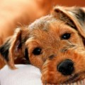 Why I adore Welsh terriers