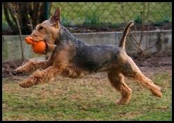 welsh terrier best toy