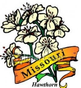 State of missouri state flower the white hawthorn beacame the official state flower in 1923