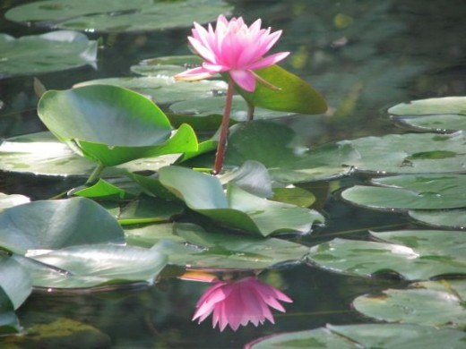 Water lily and reflection