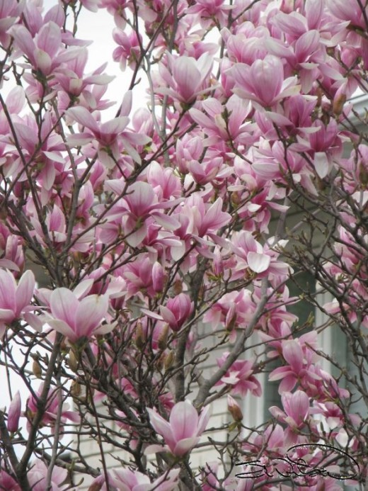 Blossoms on a tree (Magnolia)