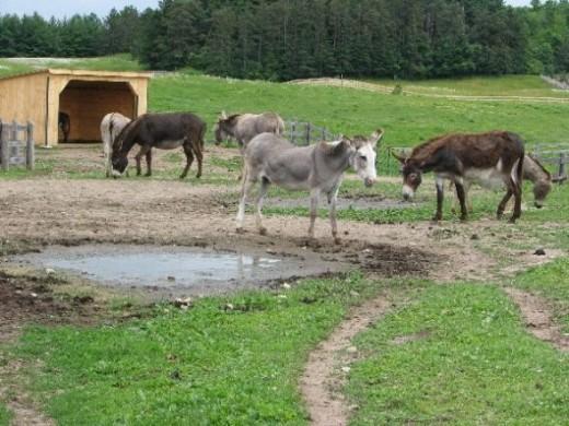 Donkeys at the Sanctuary (photo by Sandra Wilson)