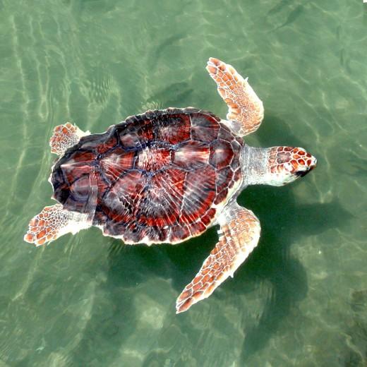 Juvenile Loggerhead Sea Turtle near Florida