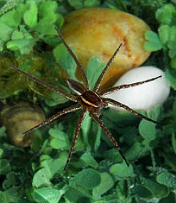 Meet the six-spotted fishing spider