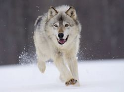 Minnesota Gray Wolf