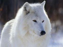 The Baffin Island Wolf