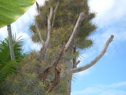 Tillandsia aeranthos growing on a dead tree in Tenerife